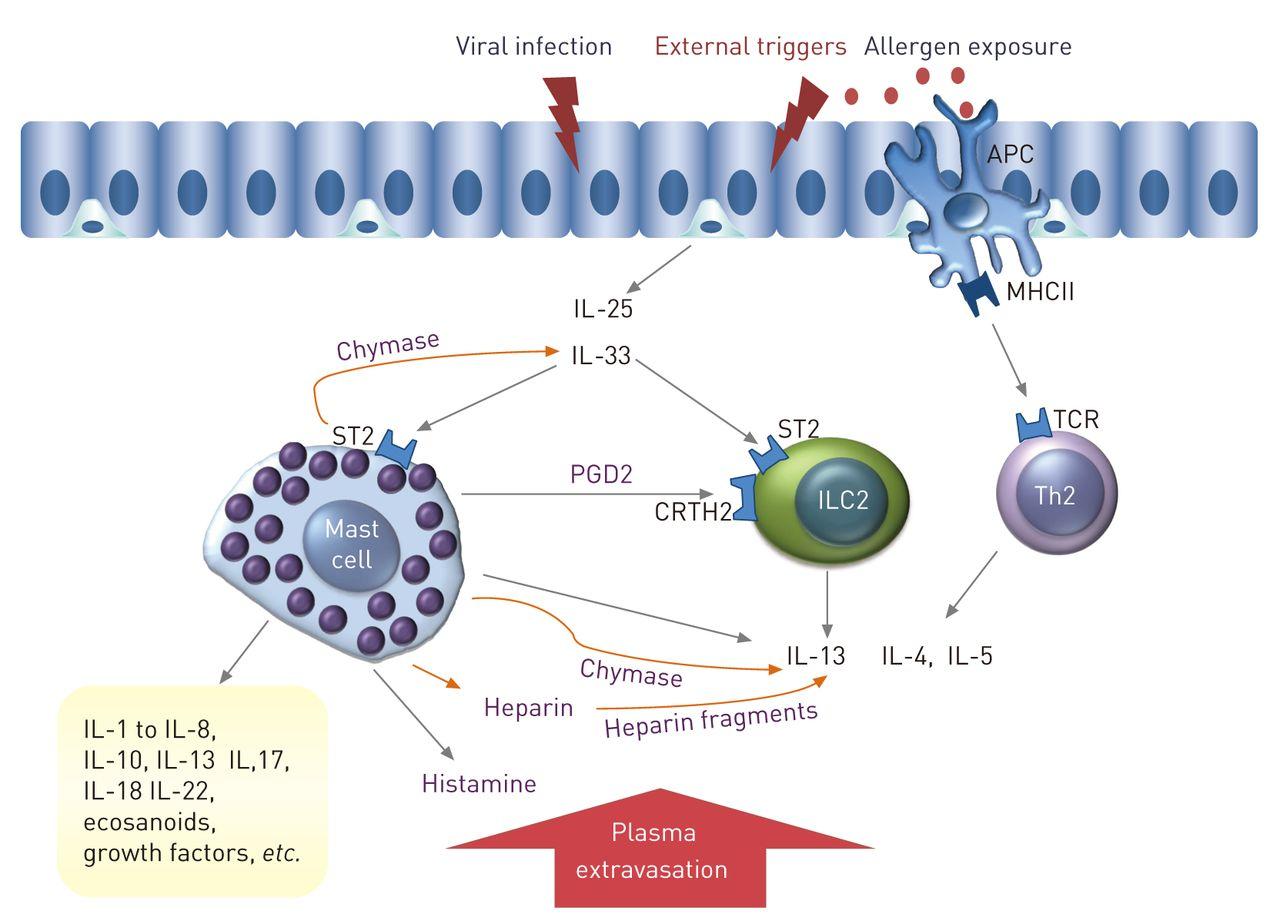 Mast cells in human airways: the culprit?   European Respiratory Society