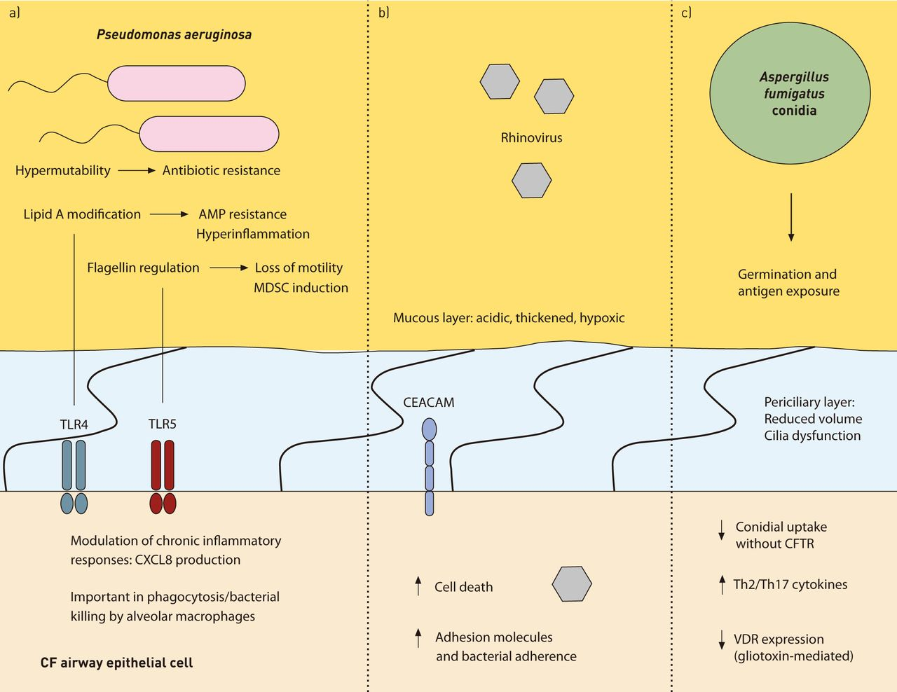 Current concepts hostpathogen interactions in cystic fibrosis download figure ccuart Choice Image