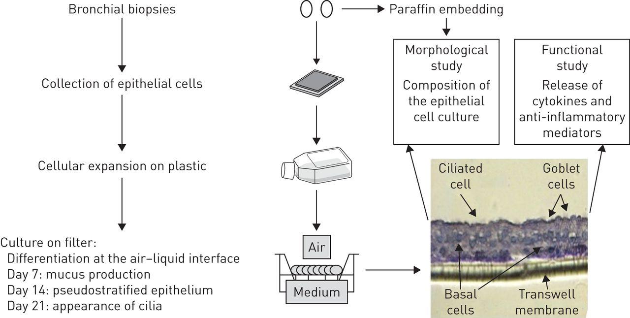 Bronchial Epithelium In Children A Key Player In Asthma European