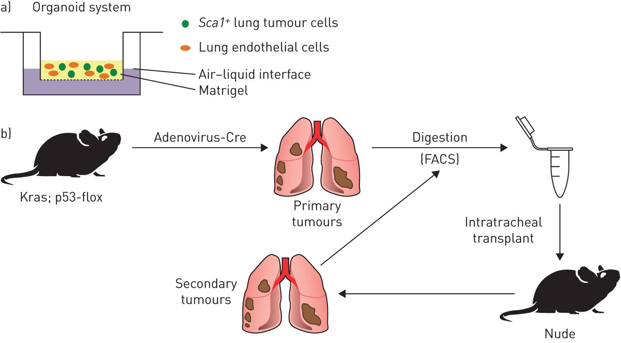 Lungs Diagram Of Mouse - Product Wiring Diagrams •