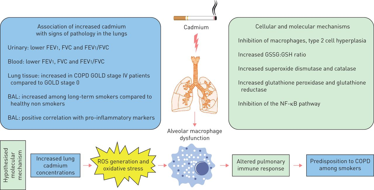 Cadmium in tobacco smokers: a neglected link to lung disease