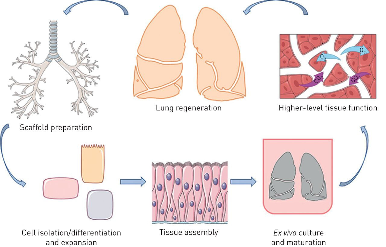 Acellular Human Lung Scaffolds To Model Lung Disease And Tissue