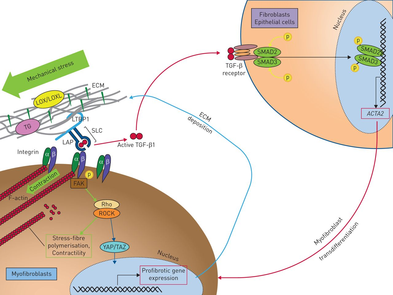 Matrix abnormalities in pulmonary fibrosis   European