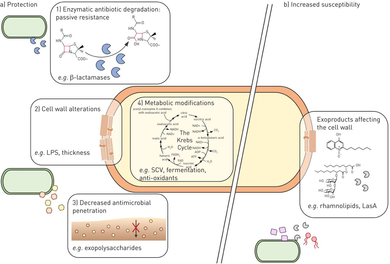 Influence of the lung microbiome on antibiotic